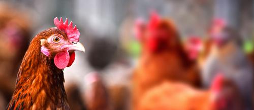Poulets Bio Halal