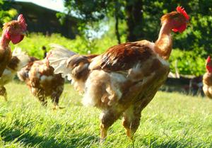 poulet-bio