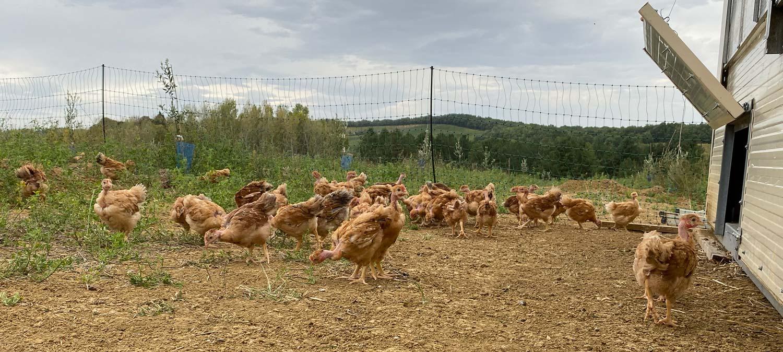 photo-poulet